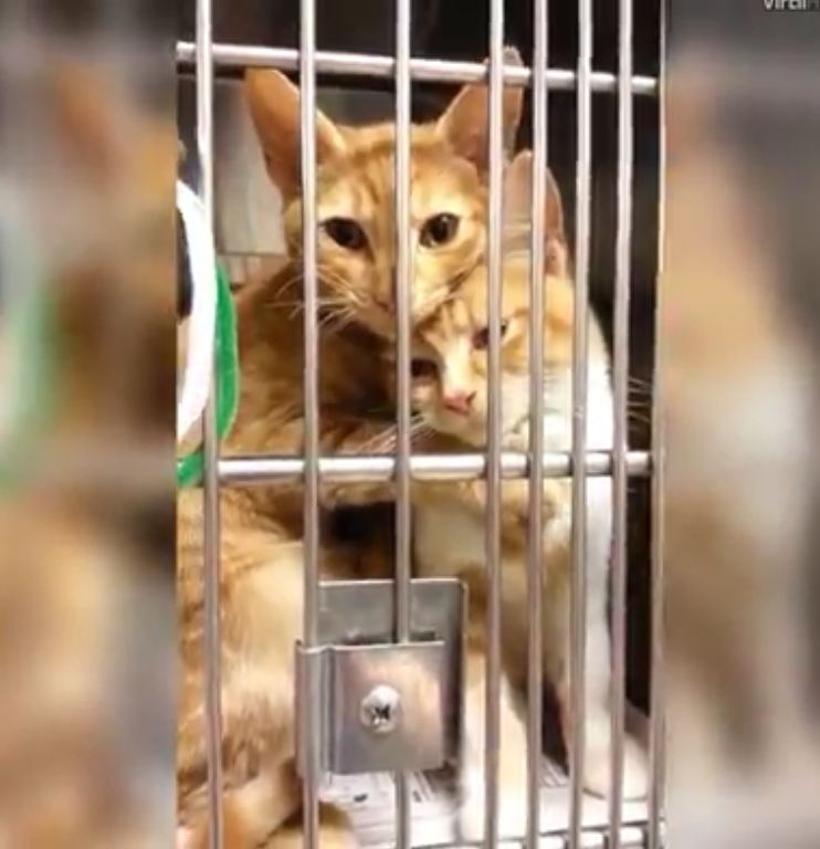 These sister cats were abandoned together and never left each other's side at the shelter. They were eventually adopted together